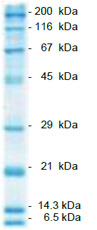 Product Image SERVA Prestained SDS PAGE Protein Marker 6.5 - 200 kDa, liquid mix_
